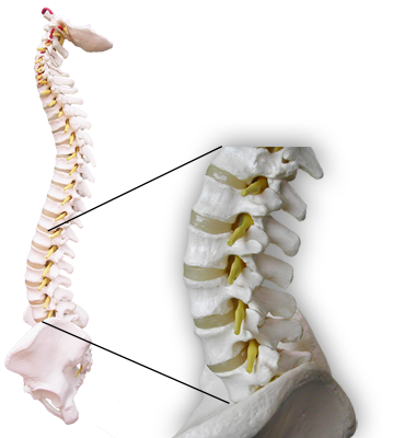 Lower Lumbar Segments