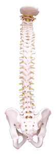Spine front