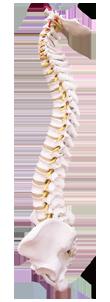 Spine side
